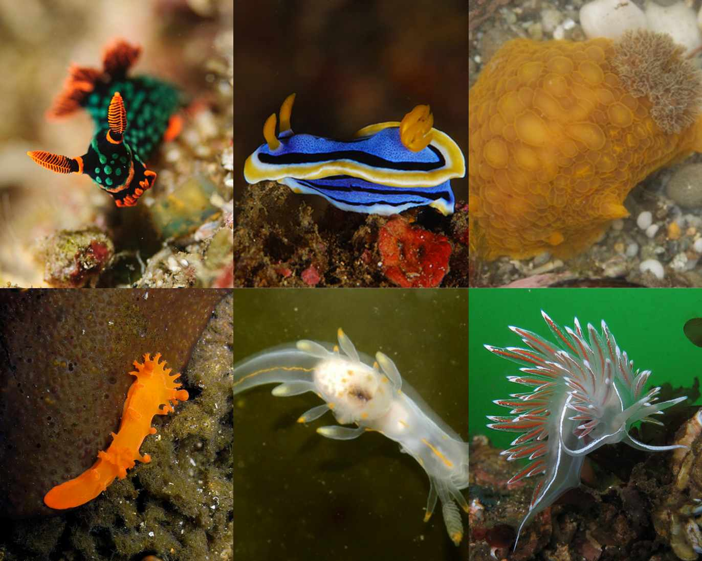 photo of some nudibranches to illustrate diversity